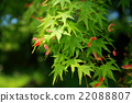 maple flowers, tender green, verdure 22088807