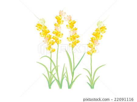 Hyacinth Yellow Flowers On White Background Stock Illustration