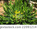 octopus euphorbia with yellow flowers cactus 22091214