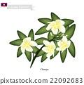 Lao, Champa or Plumeria Frangipanis 22092683
