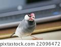 小鸟 班求 爪哇禾雀 22096472