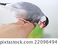 小鸟 停在手上的禾雀 班求 22096494