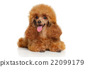 Toy poodle puppy lying 22099179