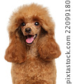 Toy Poodle close-up portrait 22099180