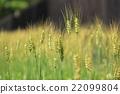 小麦 22099804