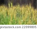 小麦 22099805
