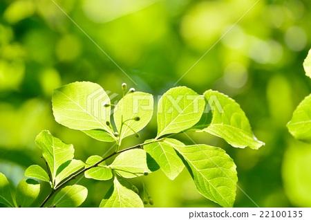 翠綠 鮮綠 樹葉 22100135