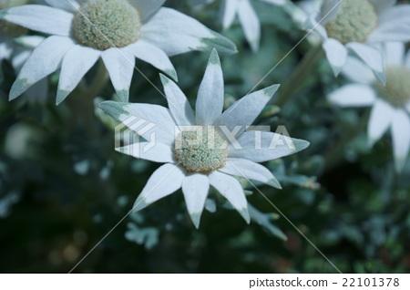 """플란넬 꽃 꽃말은 """"항상 사랑"""" 22101378"""