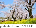 Cherry blossoms and rape blossoms 22111818