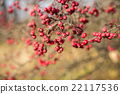 rowan, berry, red 22117536