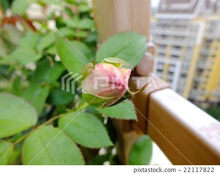 花 玫瑰 月季 22117822
