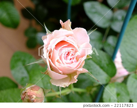 花 玫瑰 月季 22117823