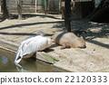 鹈鹕 白鹈鹕 大白鹈鹕 22120333