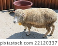 绵羊 羊 动物园 22120337