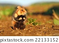 Adorable wild hamster 22133152