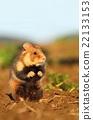 Common hamster standing 22133153