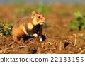Wild Cricetus cricetus  22133155