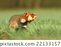 Common hamster on field 22133157