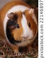 囓齒目 荷蘭豬 哺乳動物 22146897
