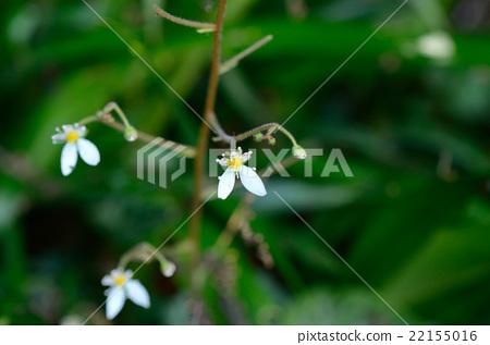 Yukinoshita · Flower under the snow 22155016