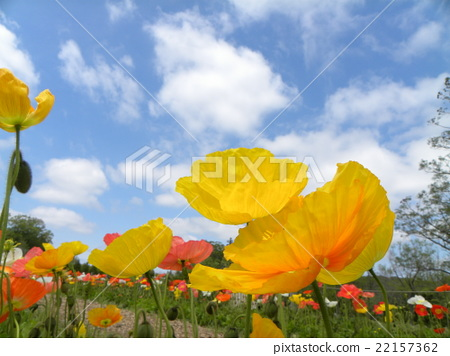 poppy, orange, bloom 22157362