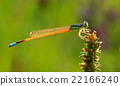 Dragonfly on green grass  22166240