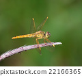 dragonfly 22166365