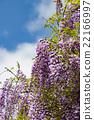 wisteria, botanic, botanical 22166997