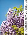wisteria, fuji, wisterium 22166998