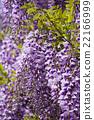 wisteria, fuji, wisterium 22166999