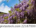 wisteria, fuji, wisterium 22167000