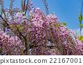 wisteria, fuji, wisterium 22167001