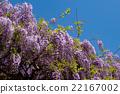 wisteria, botanic, botanical 22167002