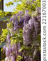 wisteria, fuji, wisterium 22167003