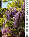wisteria, fuji, wisterium 22167004