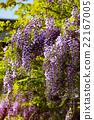 wisteria, fuji, wisterium 22167005