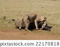 狮子 猫科 捕食 22170818