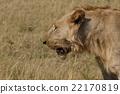 lion, panthera leo, carnivorou 22170819
