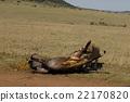 lion, panthera leo, carnivorou 22170820