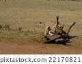 สิงโต,สัตว์ป่า,แอฟริกา 22170821