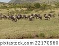 马赛马拉国家公园 反刍哺乳动物家族 跑步 22170960