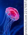 海蜇 水母 美杜莎 22170971