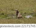 เสือชีต้า,การนั่ง,ทุ่งหญ้า 22171745