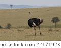 เดิน,นก,นกกระจอกเทศ 22171923