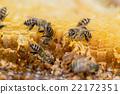 蜜蜂 昆蟲 蟲子 22172351