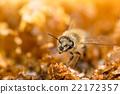 複眼 蜜蜂 蟲子 22172357