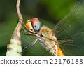 Dragonfly on leaf 22176188