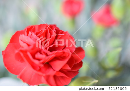 Carnation on Mother's Day 22185006