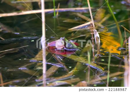 日本黑青蛙雨蛙japonica  - 日本雨蛙 22188987