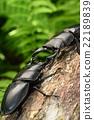 日本大鍬形蟲 打鬥 爭 22189839
